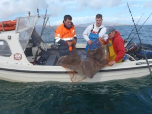 The 168lb skate being released at the side of the boat