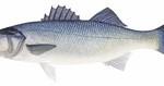 Inept fisheries management
