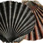 New measures for shell fishermen