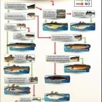 Which roundfish ?